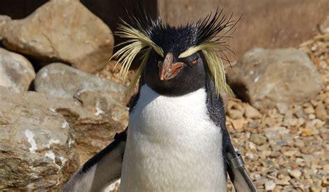 Magellanic Penguin - Facts, Diet & Habitat Information