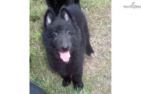 belgian sheepdog puppies for sale belgian sheepdog puppy for sale near hinesville a506b1ef d9f1