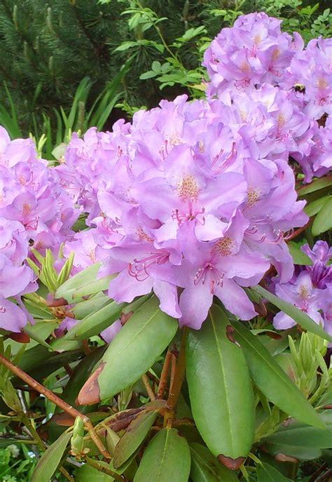 Rhododendron Vermehren by Azalee Rhododendron Pflege Beschneiden Vermehrung
