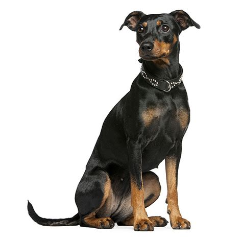 german pinscher puppies german pinscher see description and pictures of this breed dogsuniverse
