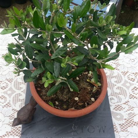 miniature plants for sale miniature table top olive tree the norfolk olive tree