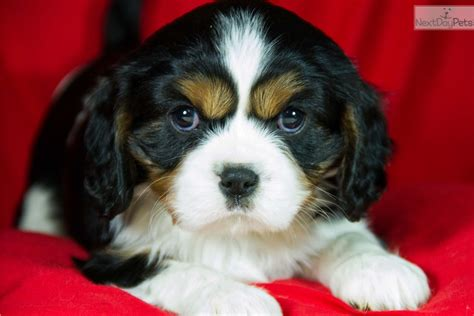 puppies for sale in topeka ks king cavalier puppies for sale buddy breeds picture