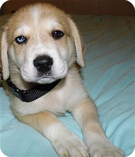 lab husky mix puppies for sale image gallery husky lab mix puppies