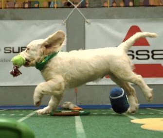 puppy bowl highlights pet scoop puppy bowl xi highest scoring in history burned koala returned to