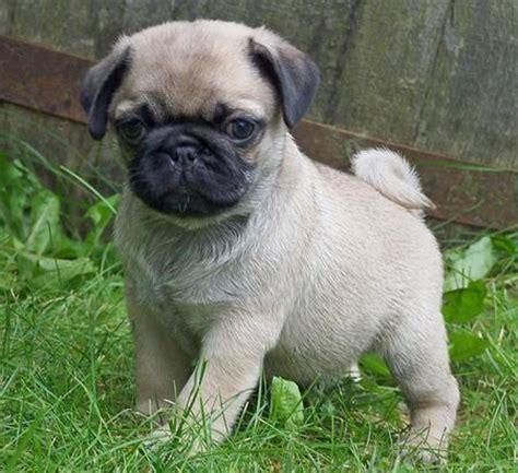 original pugs pugs beb 233 s en venta imagui