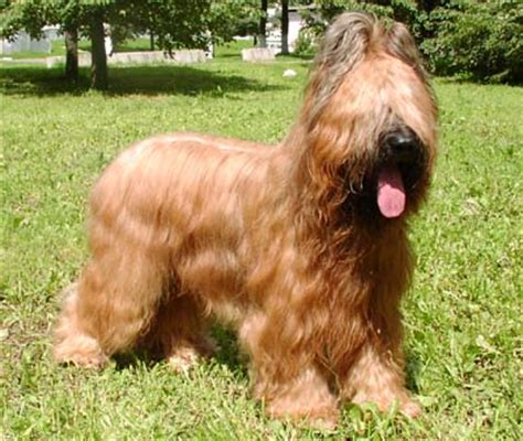 briard breed briard breed information pictures and facts alldogsworld