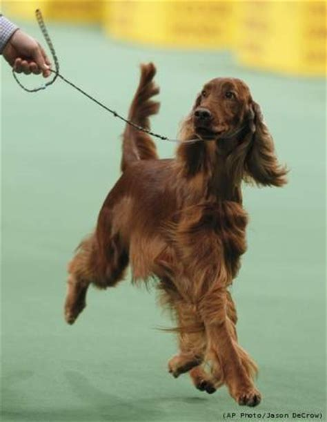 irish setter dog show dog show fuzzy today