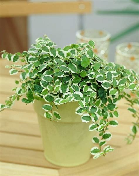 11 best indoor vines and climbers you can grow easily in 11 best indoor vines and climbers you can grow easily in