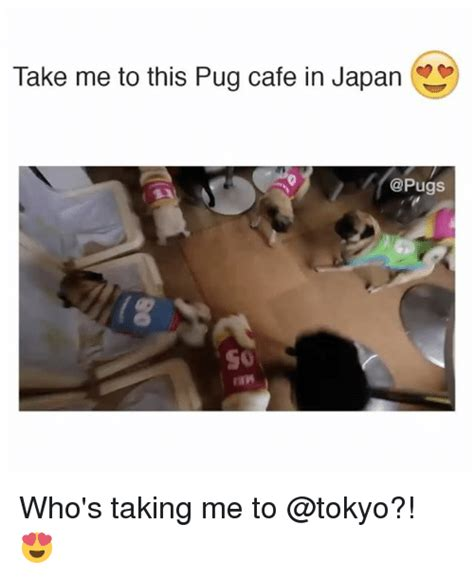pug cafe tokyo take me to this pug cafe in japan who s taking me to meme on sizzle