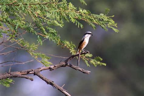 Sangkar Burung Kecil By A D Bird mengenal macam macam jenis burung cendet el