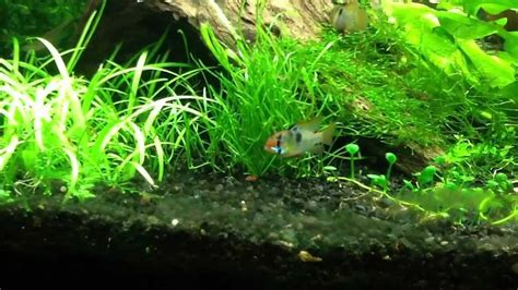 Hw Electric Blue blue rams and shrimp in 33 gallon