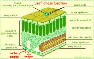 cross section of dicot leaf apps directories