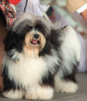 types of havanese file havanese cd1 jpg wikimedia commons