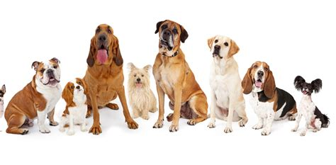 species of dogs why breeds aren t considered separate species