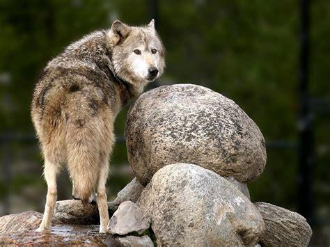 On Wolf wolf wolves wallpaper 32863672 fanpop