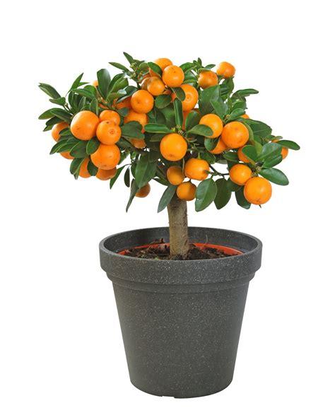 indoor fruit tree citrus trees indoor citrus and fruit trees