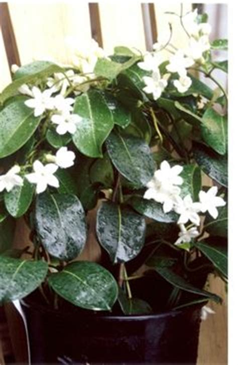 Fragrant Indoor Plants | fragrant house plants on pinterest jasmine gardenias