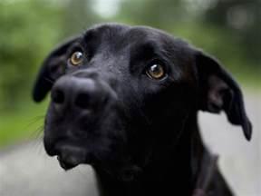 plott hound dogs black plott hound dog photo and wallpaper beautiful black