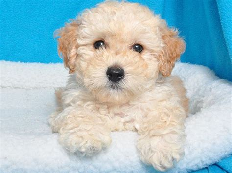 bichon shih tzu poodle mix brown bichon shih tzu mix pictures breeds picture