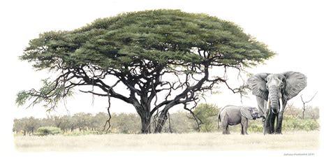 elephant knob tattoo elephant and calf under acacia tree 2001 a3 print r950