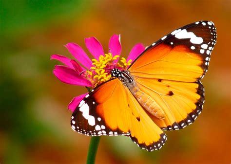 tigre y mariposa imagenes mariposa tigre im 225 genes y fotos