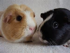 Guinea Pig Rescue Glynneath Guinea Pig Rescue And Boarding 01639 721127 10am