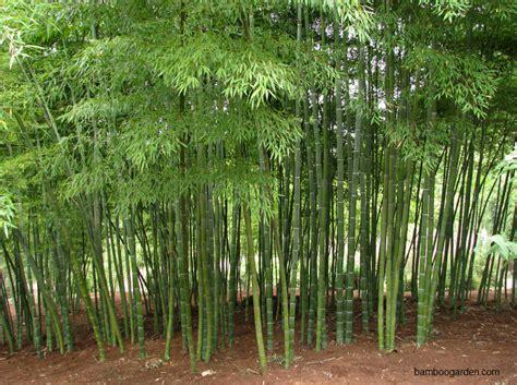Bibit Bambu Panda harga pohon bambu jepang jual bambu kuning dan bambu panda