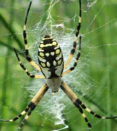 yellow black spider move to snake poisonous