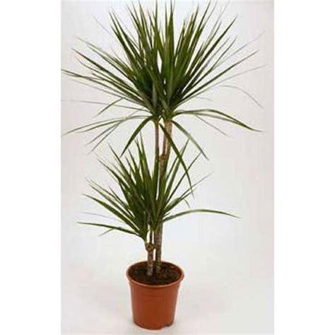 distinctive designs dracaena marginata tree in pot wayfair dracaena marginata shop dracaena marginata green braid in