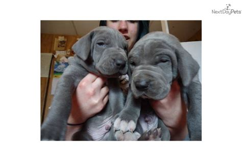 great dane puppies for sale in oklahoma great dane puppy for sale near oklahoma city oklahoma f4e7d1b7 1dc1