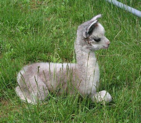 elizabeth heeg llama llama llama cute cute cute cuuuute pinterest