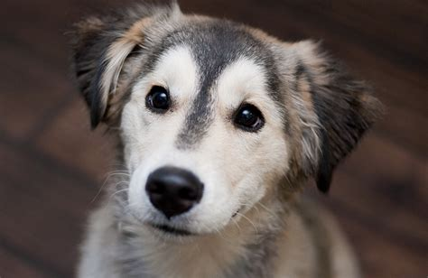 siberian husky mix golden retriever 18 breathtaking husky golden retriever mixes