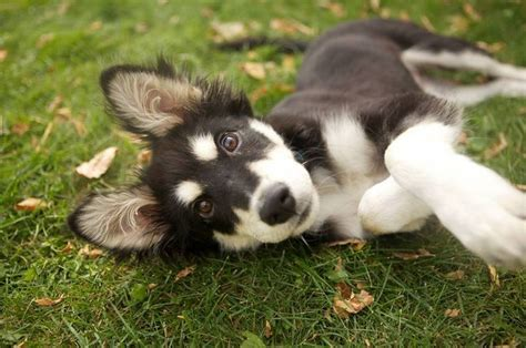 border collie husky mix puppy border collie husky shepherd mix aww