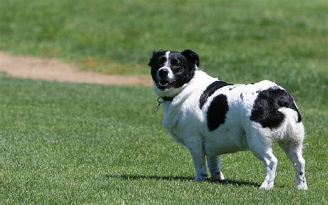 border collie pug corgi cross breeds are 25 pictures