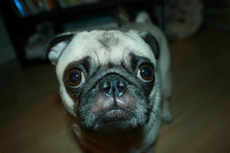 where do pugs originally come from until proven guilty about pug