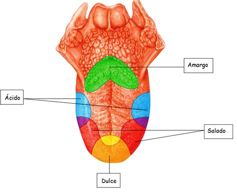 Imagenes Sensoriales Del Gusto   el gusto los 5 sentidos