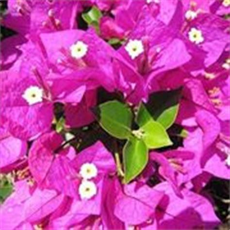 bouganville fiore bougainville ricanti
