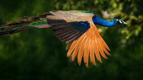 birds indian peafowl  peacocks indian peacock colored birds  green  blue feathers ultra
