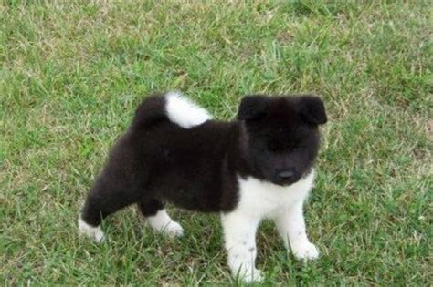 japanese akita puppies for sale dogs tx free classified ads