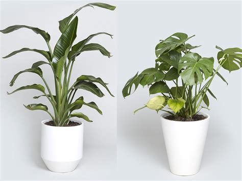 indoor plants nyc indoor tree options you can grow using a bios urn