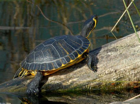 turtles yellow bellied slider trachemys scripta scripta