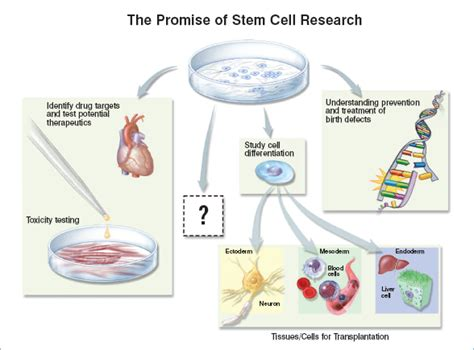 Otco Stem I Dna Limited embryonic stem cells stemcells nih gov