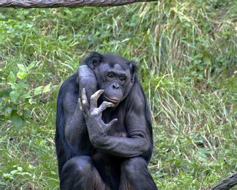 Ape   Liberapedia   FANDOM powered by Wikia