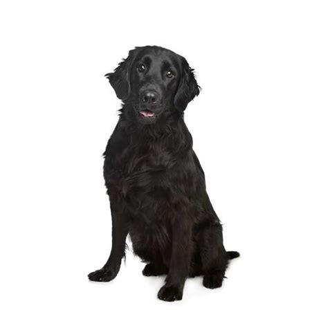 libro the flat coated retriever flat coated retriever un cane per tutti