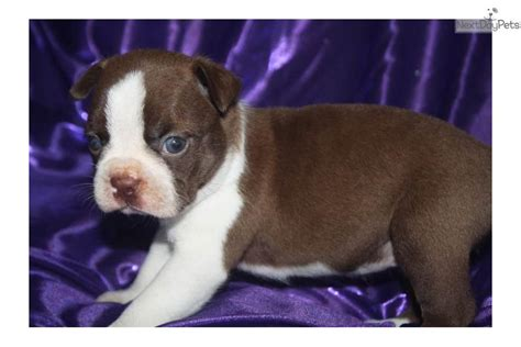 brown boston terrier puppies for sale meet brown suger a boston terrier puppy for sale for 600 brown suger