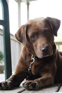 small lab only best 25 ideas about chocolate labrador retriever on