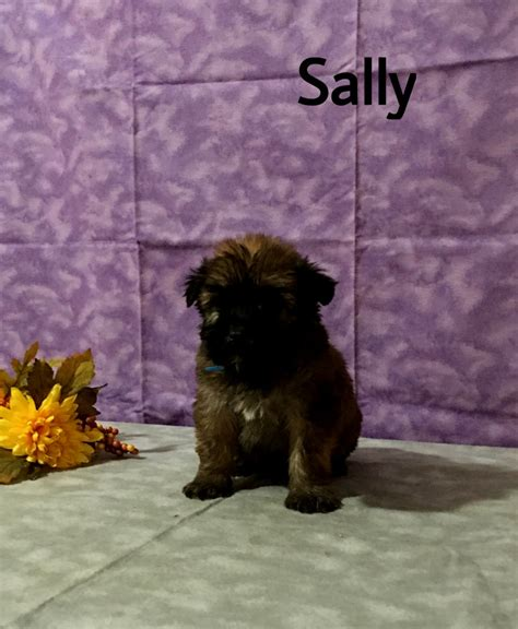 free puppies pittsburgh pa wheaten terrier puppies pa puppies puppy