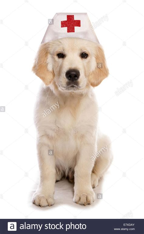 puppy golden retrievers with hats on golden retriever wearing a hat cutout stock photo royalty free image