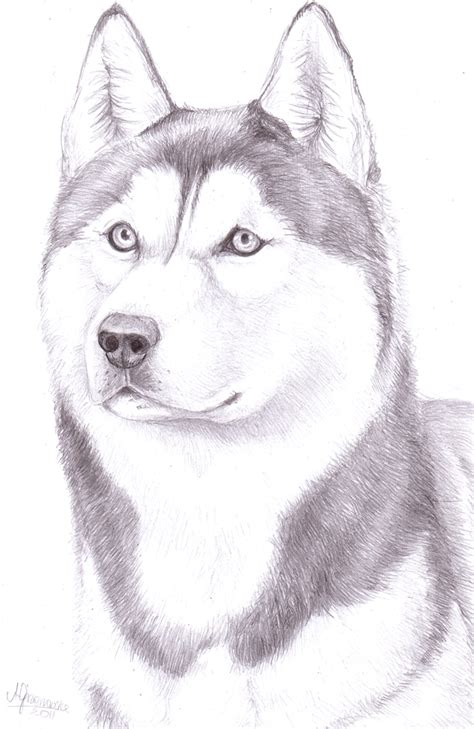 husky puppy drawing how to draw a husky