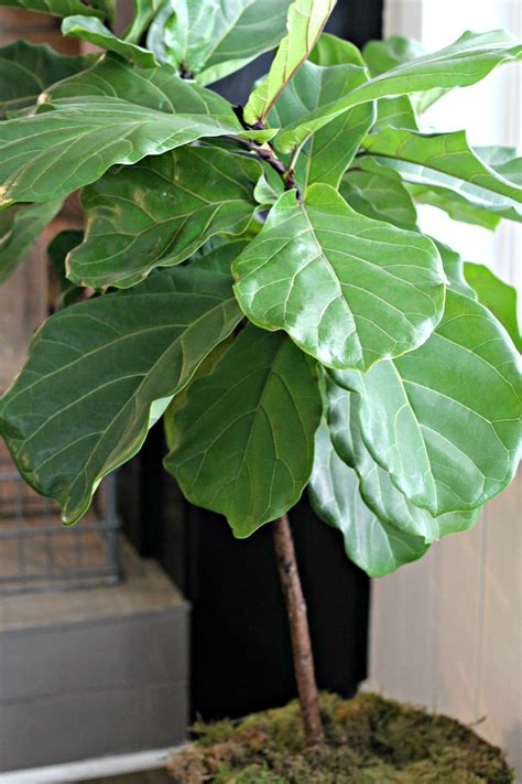 Bando Leaf Bc 05 tips for a thriving fiddle leaf fig tree miss molly vintage